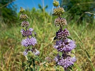 Mentha pulegium - Pennyroyal plant