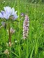 Орхидея и панаска детелина 09.jpg