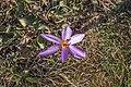 Пољски цвет.jpg