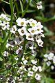 פרחים בישראל (29).JPG