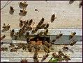زنبور داری در مراغه - panoramio (2).jpg