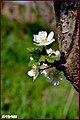 شکوفه های بهاری - panoramio (1).jpg