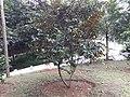 സ്റ്റാര് ആപ്പിള് Chrysophyllum cainito 4nx.jpg