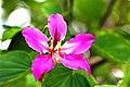 ชงโค Bauhinia purpurea Linn (9).jpg