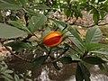 コクチナシ(小梔子)(Gardenia jasminoides Ellis var. radicans Makino)-実03 (5845086326).jpg