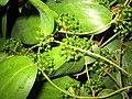 光葉菝葜(土茯苓) Smilax glabra -香港動植物公園 Hong Kong Botanical Garden- (9219875695).jpg