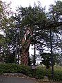 小田原城跡のイヌマキ.jpg