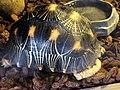 幅射龜 Astrochelys radiata - panoramio.jpg