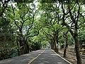 投152 綠色隧道 Tree Tunnel on Nantou Route 152 - panoramio.jpg