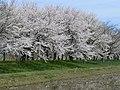 木場湖「千本桜」 - panoramio (2).jpg