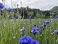 杭州市のある公園内に咲いているヤグルマギク.jpg