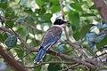 灰喜鹊幼鸟 Cyanopica cyanus.jpg