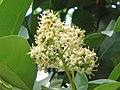 珊瑚樹 Viburnum odoratissimum -香港粉嶺 Fanling, Hong Kong- (9237377103).jpg