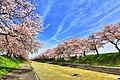 舟川の桜 - panoramio (7).jpg