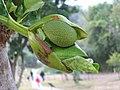菠蘿蜜 Artocarpus macrocarpon -香港西貢獅子會自然教育中心 Saikung, Hong Kong- (9222668516).jpg