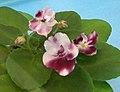 非洲紫羅蘭 Saintpaulia Mac's Southern Springtime -香港北區花鳥蟲魚展 North District Flower Show, Hong Kong- (31845235136).jpg