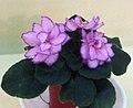 非洲紫羅蘭 Saintpaulia Rob's Zipper Zapper -香港北區花鳥蟲魚展 North District Flower Show, Hong Kong- (24149104005).jpg