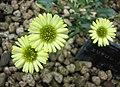 飛蓬屬 Erigeron aureus -日本大阪鮮花競放館 Osaka Sakuya Konohana Kan, Japan- (40419254250).jpg