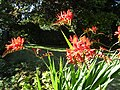 -2020-07-11 A flowering montbretia (Crocosmia × crocosmiiflora), Trimingham, Norfolk.JPG