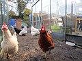 -2021-01-31 Chickens, Trimingham, Norfolk (1).JPG