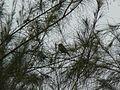 ... birdie on Casuarina (3228095553).jpg