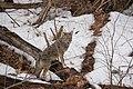 00233 Coyote (16936275962).jpg