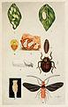01-Indian-Insect-Life - Harold Maxwell-Lefroy - Monophlebus-stebbingi.jpg