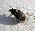 01 04 09a (16) Coleoptera (3420302106).jpg