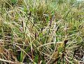 054 Carex obtusata.JPG