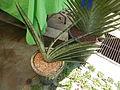 05629jfMidyear Orchid Cactus Exhibits Quezon Cityfvf 25.JPG