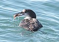 093 - COMMON LOON (12-17-11) moss landing, ca (2) (8720312789).jpg