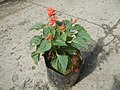 0998Ornamental plants in the Philippines 42.jpg