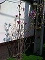 1. Bucuresti, Romania. O Magnolie minunata inflorita. Este totusi Primavara. 20.03.2020.jpg