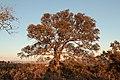 106Quercus rotundifolia.JPG