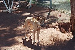 meaning of dingo