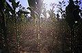 167Zypern Tabakplantage (13918913827).jpg
