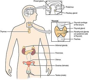 1801 The Endocrine System.jpg