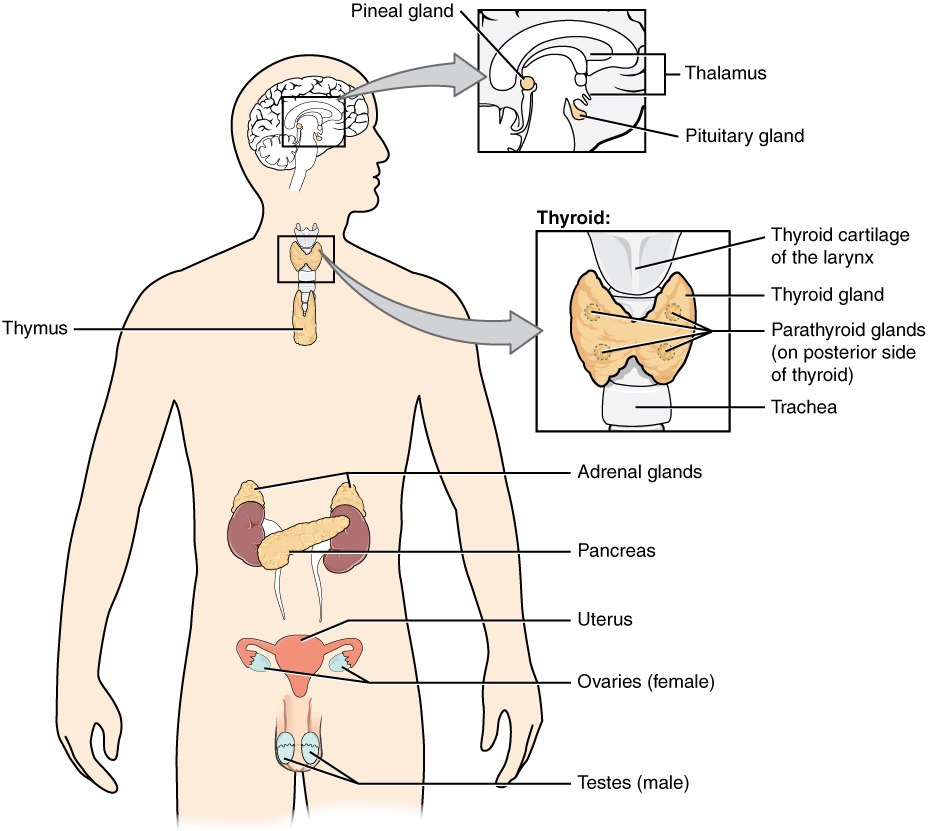 1801 The Endocrine System