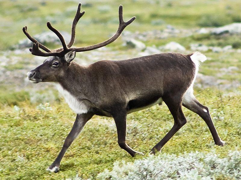 File:20070818-0001-strolling reindeer cropped.jpg