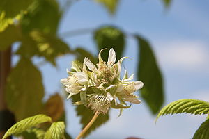 Cultivated raspberry, in flower in a garden