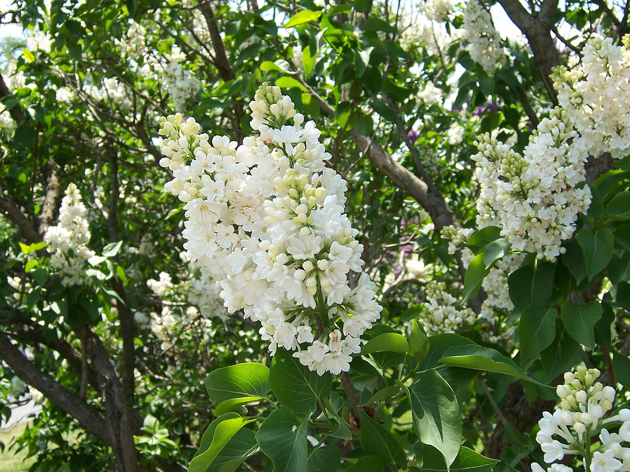 a critique of the lilac festival in rochester See who's going to rochester lilac festival 2018 in rochester, ny upstate new york knows how to bring in the spring in style as the largest free festival of its kind in north america, the.