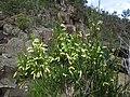 2014-09-13 Hardings Falls 079 - Acacia mucronata - Catterpillar Wattle - flowers (15638471740).jpg