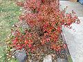 2014-12-20 13 15 16 Azalea cultivar 'Rosebud' during early winter along Terrace Boulevard in Ewing, New Jersey.JPG