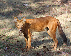 Dhole indiano