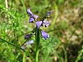 20140608Polygala vulgaris1.jpg