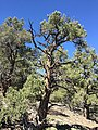 2015-04-28 10 36 28 An older Single-leaf Pinyon in South Fork Maverick Canyon, Nevada.jpg