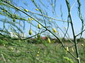 20150830Asparagus officinalis2.jpg