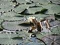 20150908Nymphaea alba1.jpg