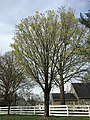 2017-04-10 17 24 47 Sugar Maple blooming along Franklin Farm Road near Thorngate Drive in the Franklin Farm section of Oak Hill, Fairfax County, Virginia.jpg