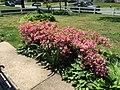 2017-05-14 12 21 56 'Rosebud' Azaleas blooming along Terrace Boulevard in Ewing Township, Mercer County, New Jersey.jpg